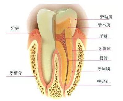 牙髓干细胞抗衰老的功能如何